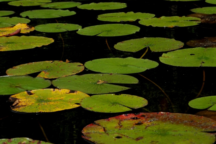Shimmering Lily Pads